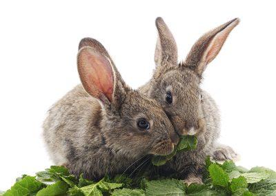 Дентални грижи при зайците